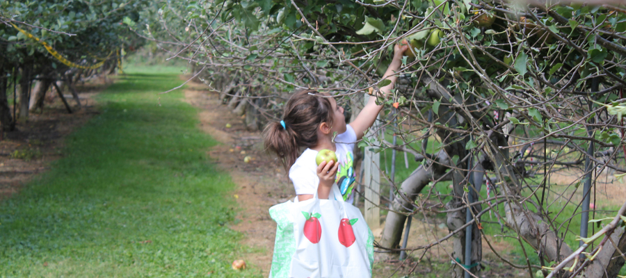 A little girl apple picking